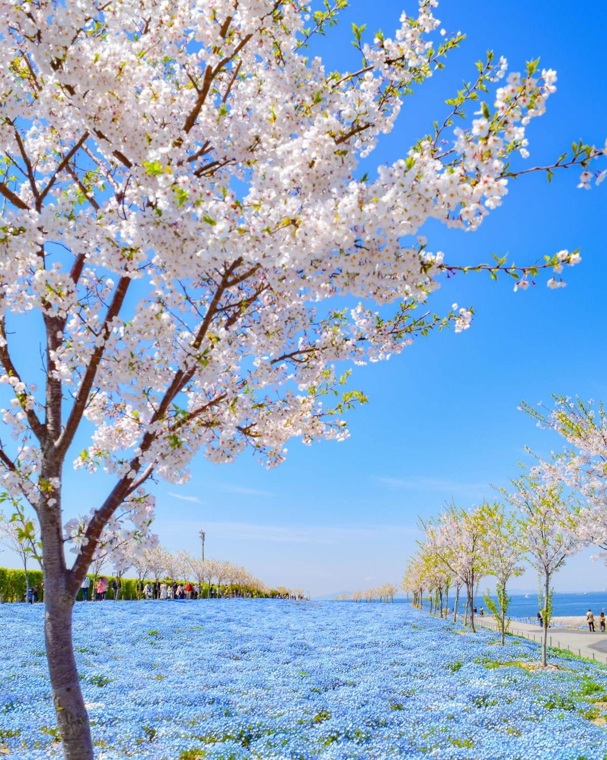 Главные места в Японии, где можно увидеть цветение сакуры