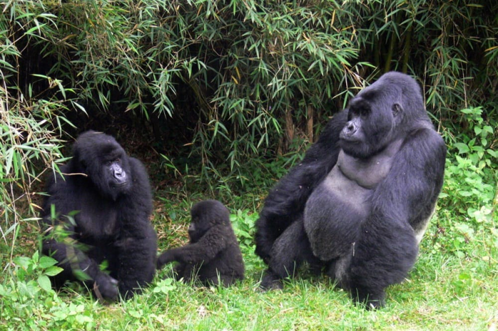 ДиКаприо иБарри Дженкинс работают над новым фильмом оспасении горилл